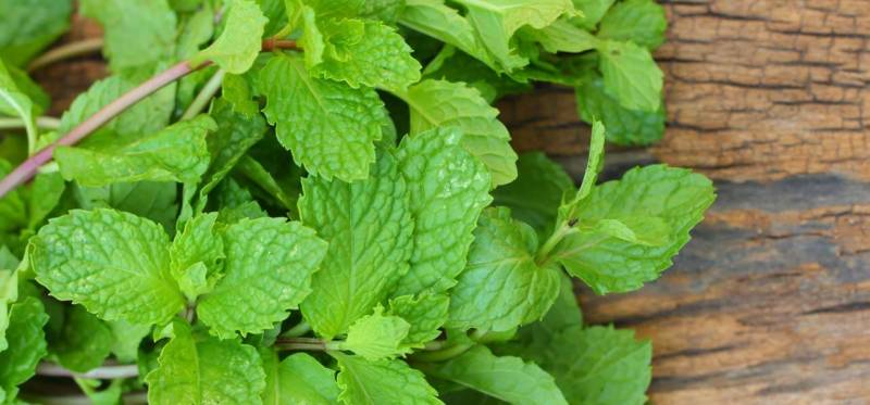 Mint may benefit your health