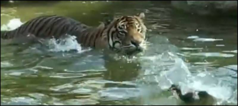 Watch: Duck dodges tiger in hilarious video