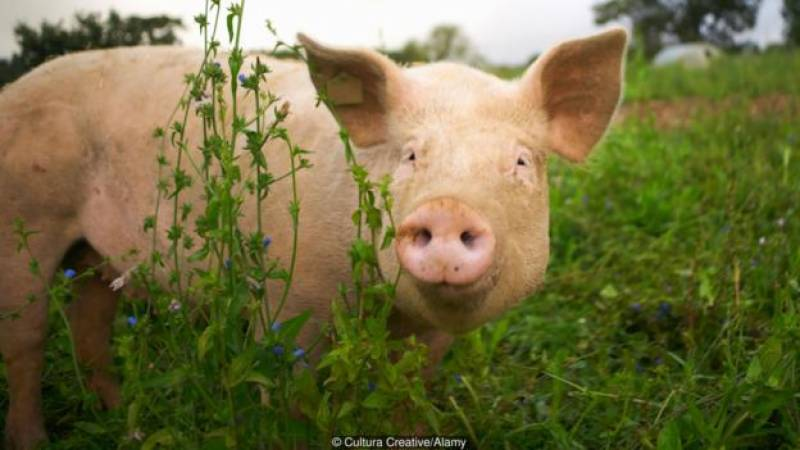 Human muscle cells to grow inside Pig