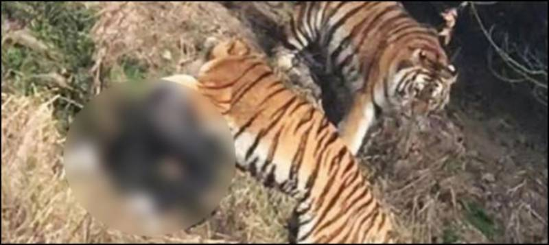 Three tigers mauls tourist to death 'in front of family'