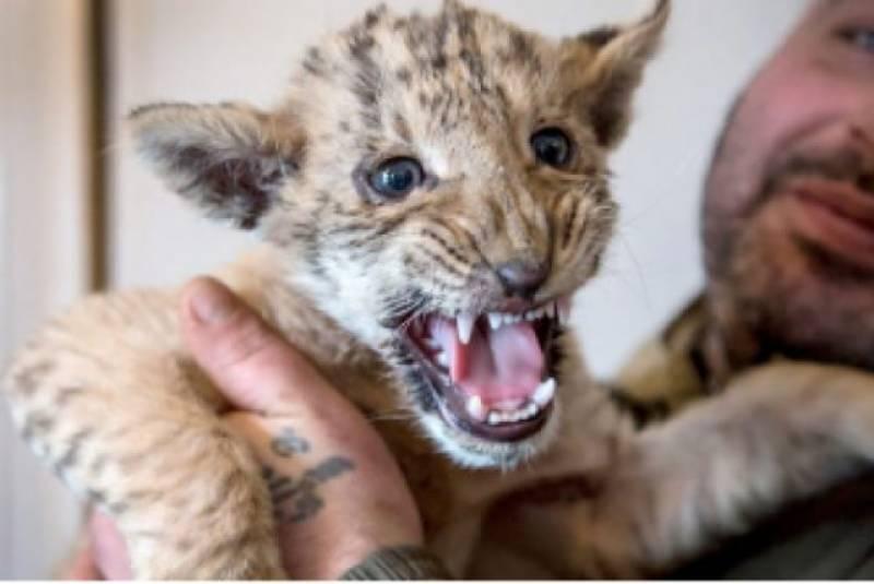 Rare half lion, half tiger born in Russia