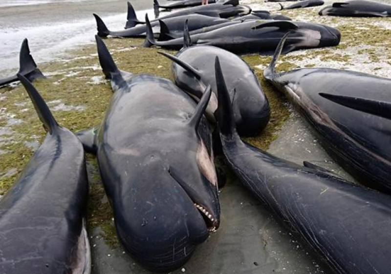 Hundreds of whales stranded on NZ beach