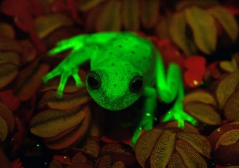 First fluorescent frog found in Argentina