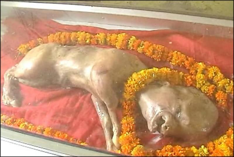 Calf born with human features, Hindu people worship