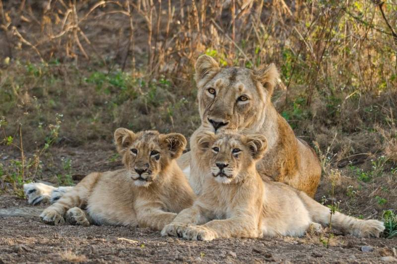 Gujarat: woman delivers in ambulance surrounded by 12 lions