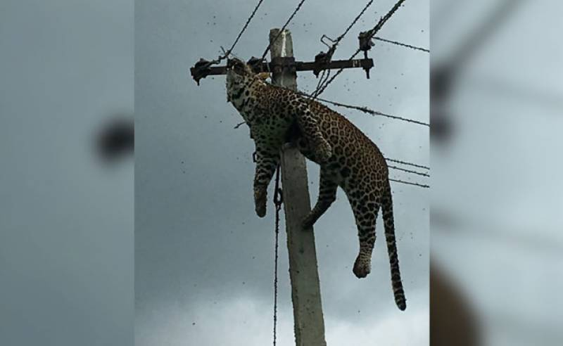 Watch: Leopard electrocuted after it climbs 12-feet pole