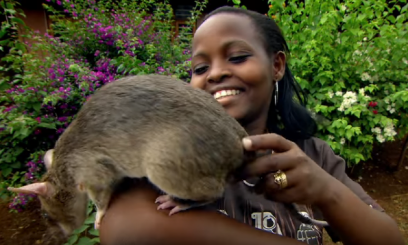 Giant Rodent: 18-Inch Rat Species Discovered
