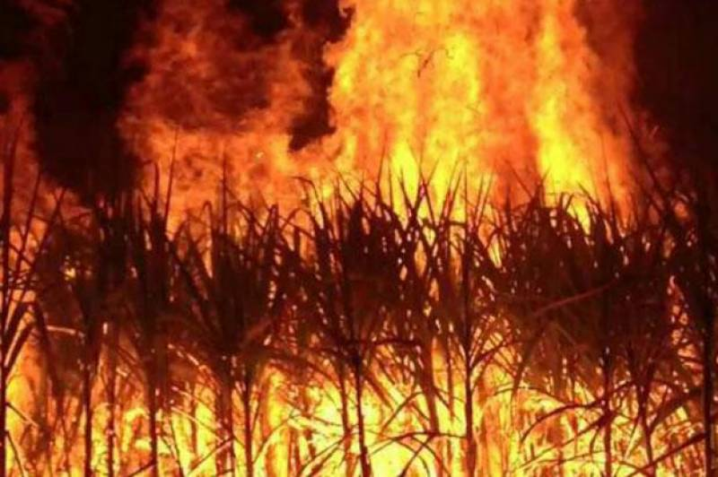 Farmer burns sugarcane crop over low rates, non-payment of dues