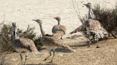 PM Nawaz approves Rs 25 crore to protect Houbara Bustards