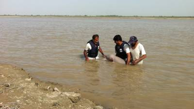 Two Rare Indus Water blind Dolphins rescued by WWF