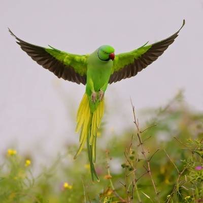 Woman offers Rs. 40,000 reward for missing parrot