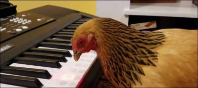 Watch: chicken plays keyboard piano