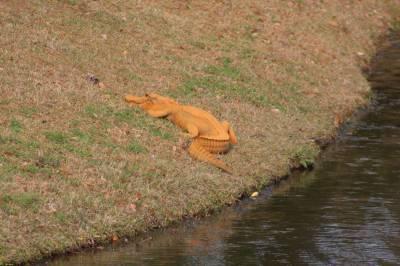 "Unique Orange coloured alligator dubbed as ""Trumpogator"" reported in S. Carolina"
