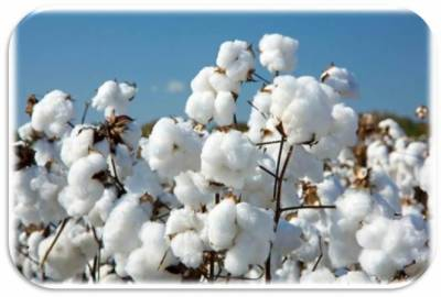 Cotton production reaches 10.07m bales