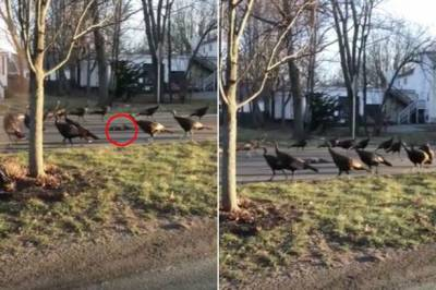 Watch: Turkeys perform creepy 'death dance' over dead cat