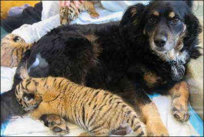 Watch: Zoo calls in dog to care for abandoned tiger cub trio