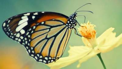 One of its kind Butterfly hunter cornered