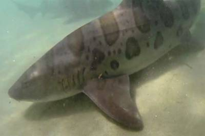 Fishermen catch 17-feet giant whale shark