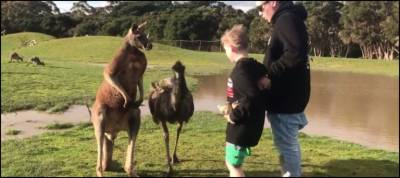 Watch: Kangaroo 'punches' boy in the face