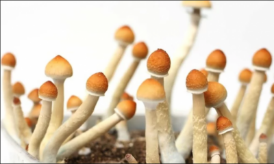 Californians might vote on 'Magic Mushroom' legalization in 2018