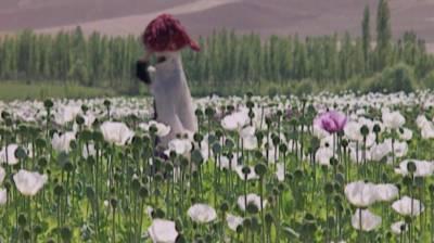US airstrikes target opium plants in Afghanistan