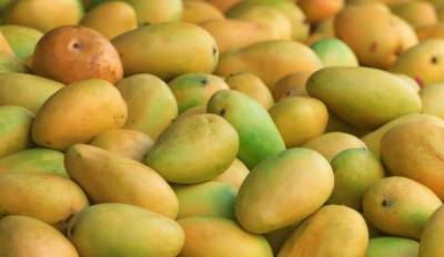Mango production may dips by 35pc this year