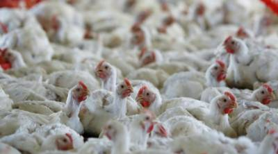 Warning for broiler chicken users as bird flu threats prevail