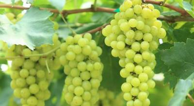 Eating grapes may help prevent tooth decay: study