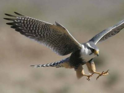 Pakistan permits export of 150 falcons to UAE