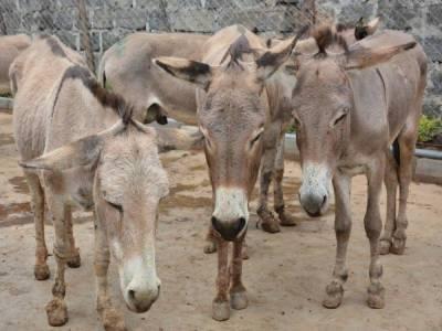 KP govt to establish donkey farms