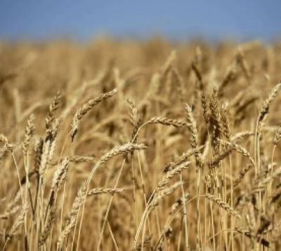 Wheat's minimum support price fixed at Rs1365/40kg